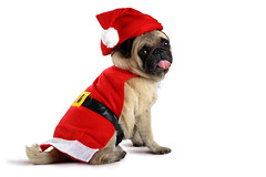Pug (Krunja) Tags: santa christmas new xmas winter red portrait dog pet baby brown white holiday cute face wearing hat animal closeup puppy studio festive season happy costume funny december sitting looking background space year seasonal joy young adorable pug canine bulldog cap gift doggy greetings concept merry copy isolated purebred