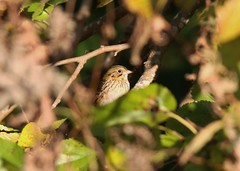 "Henslow's Sparrow - Rea's Farm ""The Beanery"" (mpasquarello) Tags: sparrow sparrows hesp henslows"