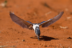 Red-backed Kingfisher WM-3813 (Henry.Cook) Tags: sand desert drought kingfisher queensland redbacked windorah todiramphuspyrrhopygius