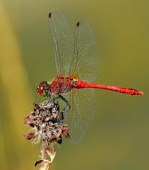 Blutrote Heidelibelle, Sympetrum sanguineum (staretschek) Tags: heidelibelle sympetrumsanguineum blutroteheidelibelle segellibelle rotelibelle groslibelle