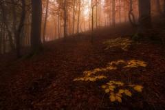 WARM FOG (sgsierra) Tags: fog la spain warm rioja niebla haya hayedo cálido