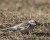 Snow Bunting (J.B. Churchill) Tags: birds larkslongspursbuntings maryland places pointlookoutsp snbu snowbunting stmarys taxonomy lexingtonpark unitedstates us