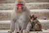 Who are you calling a redface? (iorus and bela) Tags: snowmonkeys japan monkey monkeys japanesemonkey yudanaka iorus bela september summer zomervakantie snowmonkeysinthesummer asia travel macaque japanesemacaque wild wildlife