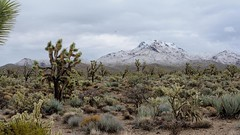 Snow on the Cerbat Mountains (Lone Rock) Tags: cerbatmountains snowcappedmountains arizona winter desert cactus joshuatrees yucca