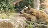 Hang in there... (Apollo Mars) Tags: brown bear zoo nature wildlife