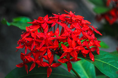 Bleeding Red !(Explored) (Akhil Sanjeev) Tags: flower plant ixora bright vivid red