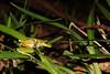 Mountain Stream Frog (Jayden Walsh) Tags: litoria barringonensis frog australia herp