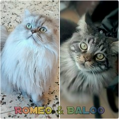 Romeo #chinchillapersian and Baloo #mainecoon #comparison (romeosilverpersian) Tags: mainecoon mainecoonkitten kittens longhairedcats fluffycat persiancat catbreeds coonies browntabby tabby cats chinchillapersian baloo romeosilvercat silvershaded pets animals