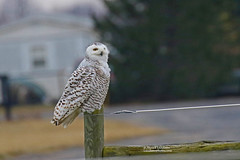Snowy Owl 3_HE1A7799cmcol-25L (Joyce_E_Landean (Trying to get back at it)) Tags: snowyowl senecabirds fingerlakesregionalairport bird snowys owls upstateny fingerlakesarea fingerlakes airport