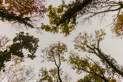 Upwards (Fred Friggens) Tags: tree nature sky colour wood land england countryside branches leaves