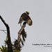 Laughing Falcon, Herpetotheres cachinnans