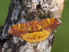 Lemaireia loepoides (Green Baron Pro) Tags: 200903 malaysia moth frasershill brinchang saturniidae