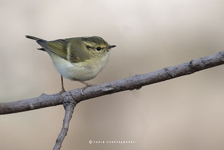 The lemon-rumped warbler