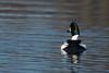 Goldeneye1 (westcoastcaptures) Tags: sonya99ii minoltaaf400f45hsg minoltaapoii14xteleconverter goldeneye esquimaltlagoon waterbird duck vancouverisland