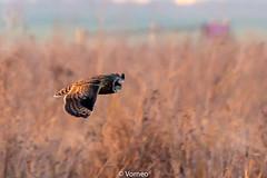ShortEaredOwl-0019.jpg (vorneo) Tags: shortearedowl bird wild birdofprey seo classaves orderstrigiformes familystrigidae genusasio phylumchordata speciesaflammeus wildbird kingdomanimalia binomialnameasioflammeus