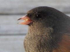 Oregon Junco (starmist1) Tags: portrait junco oregonjunco deck backyard snow cold winter bird