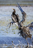 Doppelgänger (matthewolsonphoto.com) Tags: anhinga waterbird birding wildlife animals florida blue