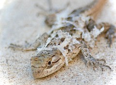 Outgrowing my skin! (Kreative Capture) Tags: macromonday macromondays peel peeling shed skin lizard molting reptile macro texas nikkor nikon d7100 outdoor spiny grey depthoffield