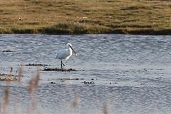 Spoonbill (10210) (jonathanclark) Tags: bird spoonbill wader wildfowl wild wildlife nature natural rarity water lake marsh wwt castleespie down northernireland white