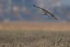 R17_6382 (ronald groenendijk) Tags: cronaldgroenendijk 2017 asioflammeus rgflickrrg animal bird birds birdsofprey groenendijk nature natuur natuurfotografie outdoor owl owls ronaldgroenendijk roofvogels shortearedowl velduil vogel wildlife
