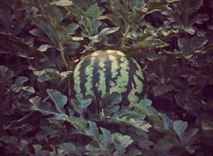 Watermelon (~ Lone Wadi ~) Tags: watermelon garden americansouthwest vegetation vegetable mesaarizona sonorandesert backyard