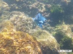 Blue fish (j-brautigam) Tags: blue fish costarica bluefish sea underwater deepsea tortugaisland isla tortuga underwaterphoto
