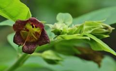Flower (Hugo von Schreck) Tags: hugovonschreck schwarzetollkirsche atropabelladonna flower blume blüte macro makro luetzel hessen deutschland germany canoneos5dsr tamron28300mmf3563divcpzda010