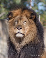 Lion_ (strjustin) Tags: lion animal canon80d washingtonzoo zoo nationalzoo beautiful