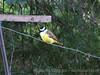 IMG_8662- Benteveo común (Pitangus sulphuratus) (Claudio Vázquez @ cvphotoart) Tags: argentina birds aves provinciadebuenosaires buenosairesprovince canonsx20is