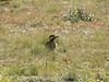IMG_8736- Carpintero Real (Colaptes melanochloros) (Claudio Vázquez @ cvphotoart) Tags: argentina birds aves provinciadebuenosaires buenosairesprovince canonsx20is
