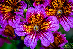 Salpiglossis, Painted Tongue (Colleen Easley) Tags: flower alaska garden anchorage botanicalgarden