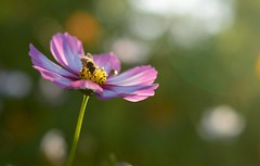 Busy Bee (Plummerhill) Tags: summer evening bee cosmos