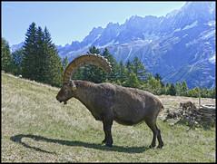 Bouquetin mle (wilphid) Tags: montagne animaux chamonix parc montblanc sauvage hautesavoie faune leshouches parcdemerlet