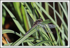 Dragonfly (mcgin's dad) Tags: insect dragonfly aberfoyle queenelizabethforestpark canon700d
