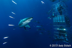 20151001-165539-252-Edit (andy_deitsch) Tags: mexico sharks 2015 guadalupeisland