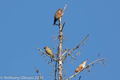 "Red Crossbill (male and female) (1512) (Anthony ""Tony G"" Gliozzo (Web Site is ocbirds.com)) Tags: ca canada alberta banff missionviejo albertacanada banffnationalpark vermilionlakes canon5dmarkiii anthonygliozzo ocbirdscom canon100400mmisiilusm redcrossbillloxiacurviostra"