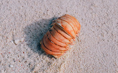 (spectrumflux) Tags: ocean sea beach nature sand marine decay shell shore lobster aquatic crustacean arthropod carapace