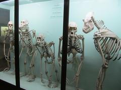 UK - London - Forest Hill - Horniman Museum - Skeletons of Orangutans, gorillas, chimpanzees and gibbons (JulesFoto) Tags: uk england london monkey skeletons foresthill clog hornimanmuseum centrallondonoutdoorgroup