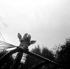 限界線 (limit line) (Dinasty_Oomae) Tags: bw zoo giraffe yokohama zeissikon ikonta kanagawa キリン 横浜 野毛山動物園 動物園 神奈川 神奈川県 白黒写真 nogeyama 横浜市 nogeyamazoo supersix スーパーイコンタ ツァイス・イコン スーパーシックス
