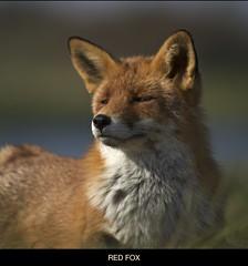 Enjoying but alert! (Jambo53 (catching up)) Tags: nature mammal wildlife natuur predator redfox vulpesvulpes roofdier zoogdier renardroux robertkok jambo53