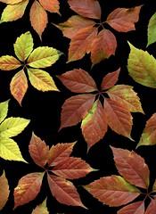 56948.01 Parthenocissus quinquefolia (horticultural art) Tags: leaves pattern virginiacreeper parthenocissus parthenocissusquinquefolia horticulturalart