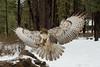 Red-tailed Hawk (Jon David Nelson) Tags: redtailedhawk buteojamaicensis raptors birdsofprey education conservation centraloregon highdesert