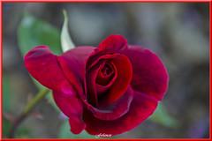 Rosa  roja de terciopelo  de mi jardín (ferlancor) Tags: planta flor rosa color