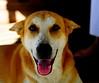 ,, Thai Smile ,, (Jon in Thailand) Tags: happydog pumpkin nikon d300 nikkor 175528 smile thaismile k9 dog tongue jungle pinktongue littledoglaughedstories