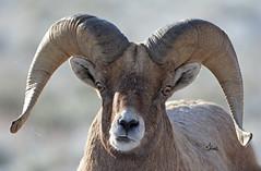 Bighorn Sheep Ram Portrait - 8021b+ (teagden) Tags: bighorn bighornsheep bighornram bighornsheepram ram jenniferhall jenhall jenhallphotography jenhallwildlifephotography wildlifephotography wildlife photography nikon wild wyoming naturephotography nature winter horns goofy portrait sheep closeup