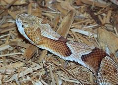 Northern Copperhead IMG_1882 (auntiepauline) Tags: snake northerncopperhead copperhead reptile viper httpswwwflickrcomphotos29467326n0631406884493indatepostedpublic