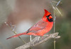 Northern Cardinal (tresed47) Tags: 2016 201612dec 20161208chestercountybirds birds canon7d cardinal chestercounty content folder home pennsylvania peterscamera petersphotos places takenby us ngc npc