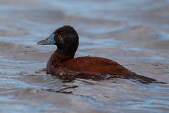 Male Lake Duck - Oxyura vittata - Pato rana de pico delgado