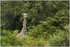 _DSC5493PJ_resultat (http://phj.bookfoto.com/) Tags: botswana philippe jubeau afrique delta okavango girafe