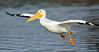 LakeChabot_123116_224 (kwongphotography) Tags: lakechabot castrovalley birds calif americanwhitepelican pelican wildlifephotography nature naturephotography wildlife birdsinflight unitedstates